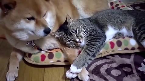 柴犬と猫の昼寝3