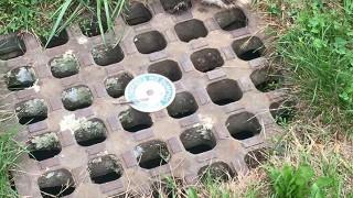 排水溝にアライグマ