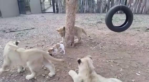 ライオンと子犬