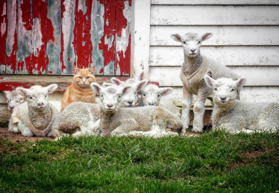 猫と子羊1