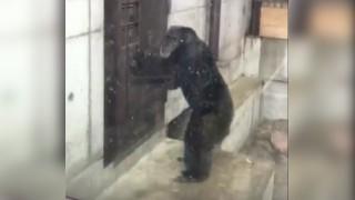 徳島のチンパンジー