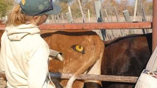 牛にペイント