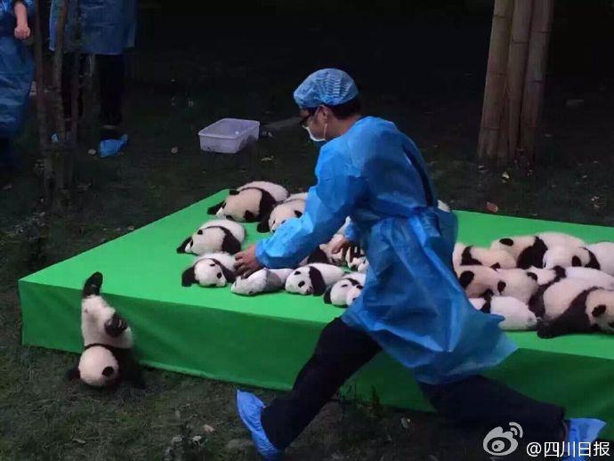 2016年に生まれたパンダ4