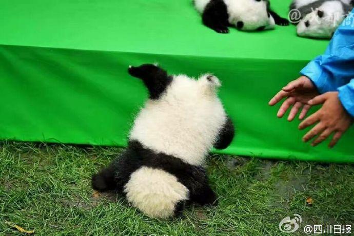2016年に生まれたパンダ5