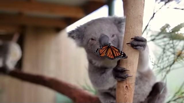 コアラと蝶々2