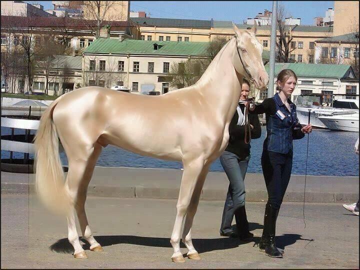 黄金の馬1