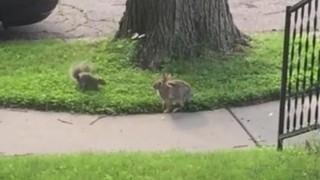 リストウサギの戯れ