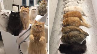 12匹のペルシャ猫