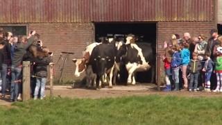 牛が外にでて楽しそう
