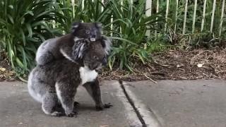 コアラと子供