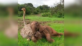 ダチョウと象