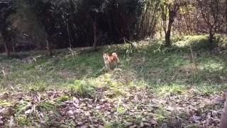 バイバイというと慌てる柴犬