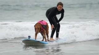 サーファー犬