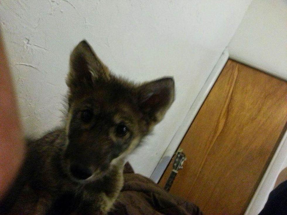 オオカミと犬1