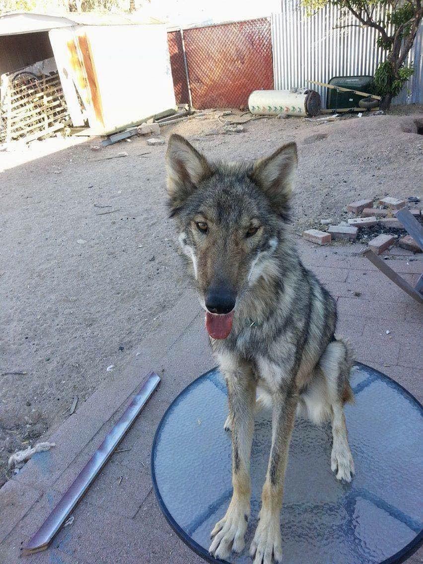 オオカミと犬3